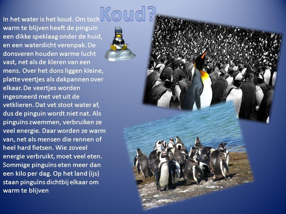 In het water is het koud. Om toch warm te blijven heeft de pinguïn een dikke speklaag onder de huid, en een waterdicht verenpak. De donsveren houden w