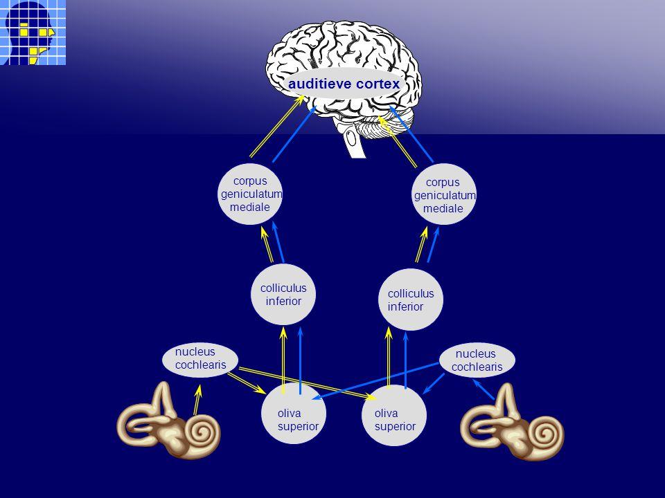 colliculus inferior corpus geniculatum mediale nucleus cochlearis oliva superior oliva superior nucleus cochlearis colliculus inferior corpus geniculatum mediale auditieve cortex