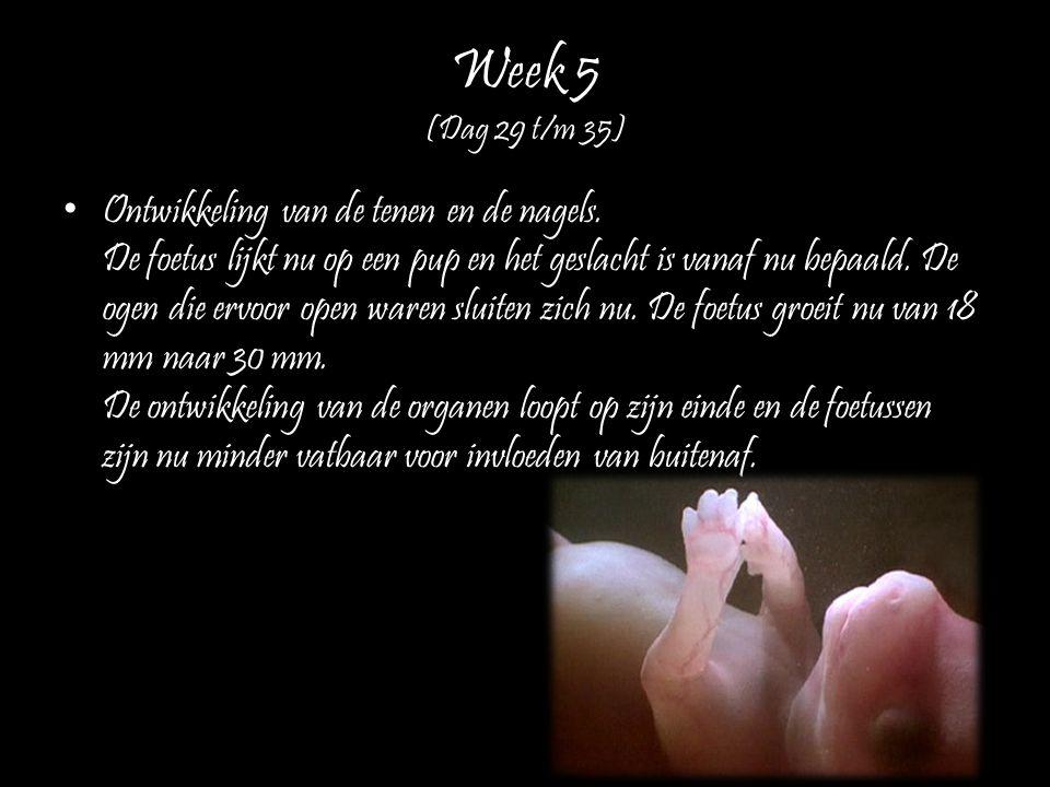 Week 5 (Dag 29 t/m 35) Ontwikkeling van de tenen en de nagels. De foetus lijkt nu op een pup en het geslacht is vanaf nu bepaald. De ogen die ervoor o