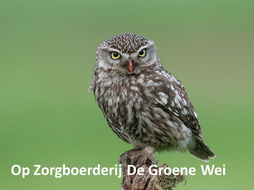 De Steenuil: broedt jaarlijks op De Groene Wei.is de kleinste uilensoort eet o.a.