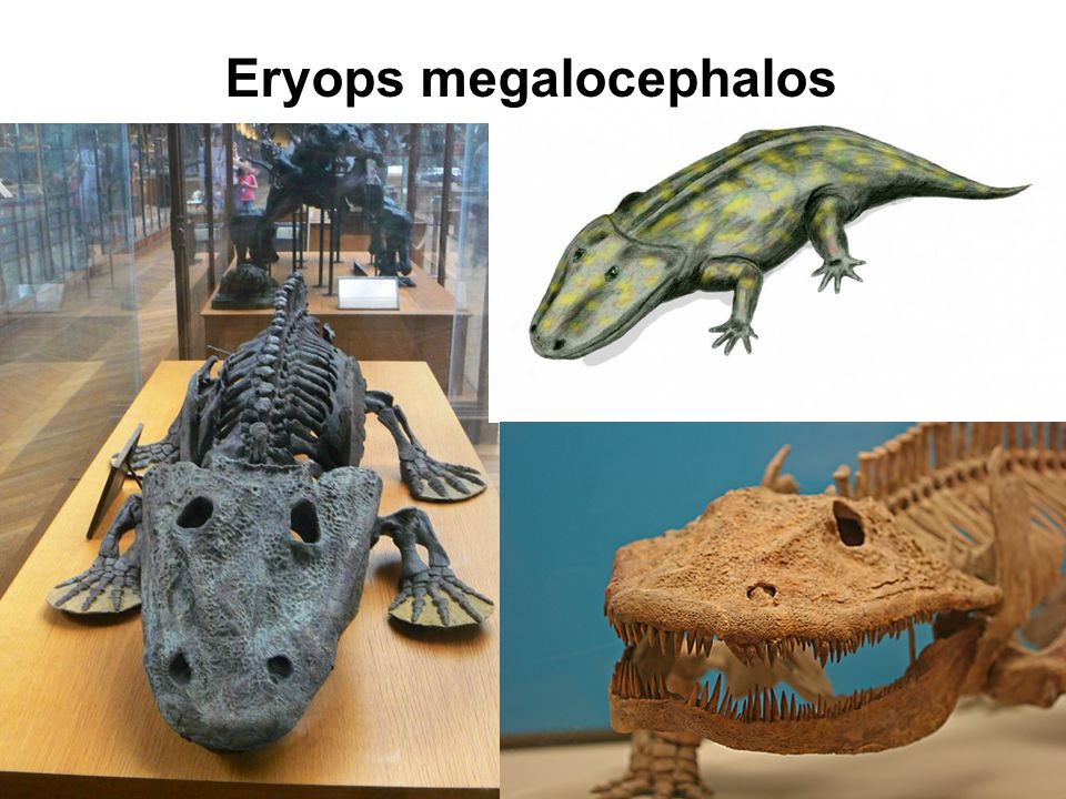 Eryops megalocephalos