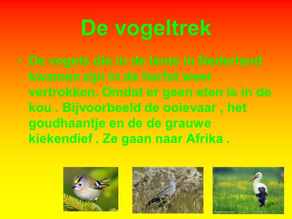 De vogeltrek De vogels die in de lente in Nederland kwamen zijn in de herfst weer vertrokken. Omdat er geen eten is in de kou. Bijvoorbeeld de ooievaa