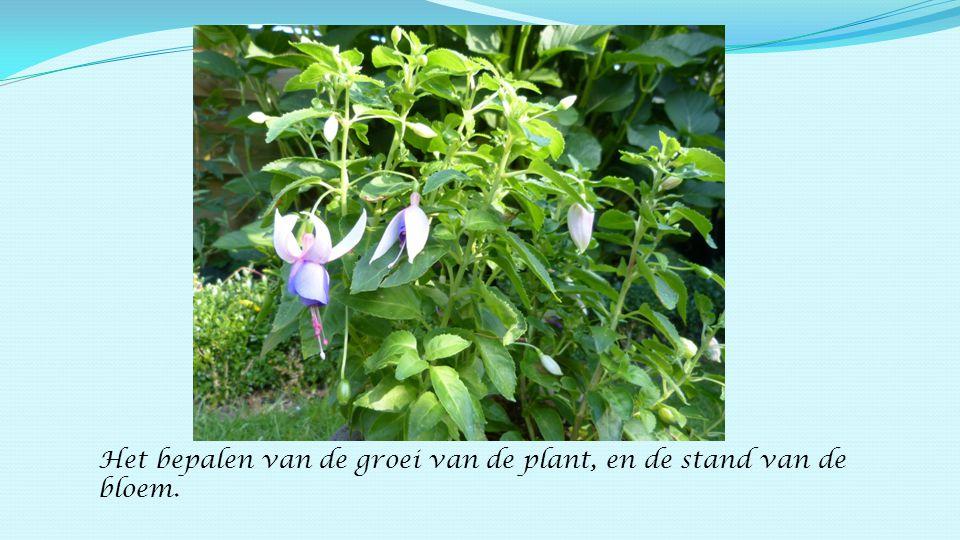 Het bepalen van de groei van de plant, en de stand van de bloem.