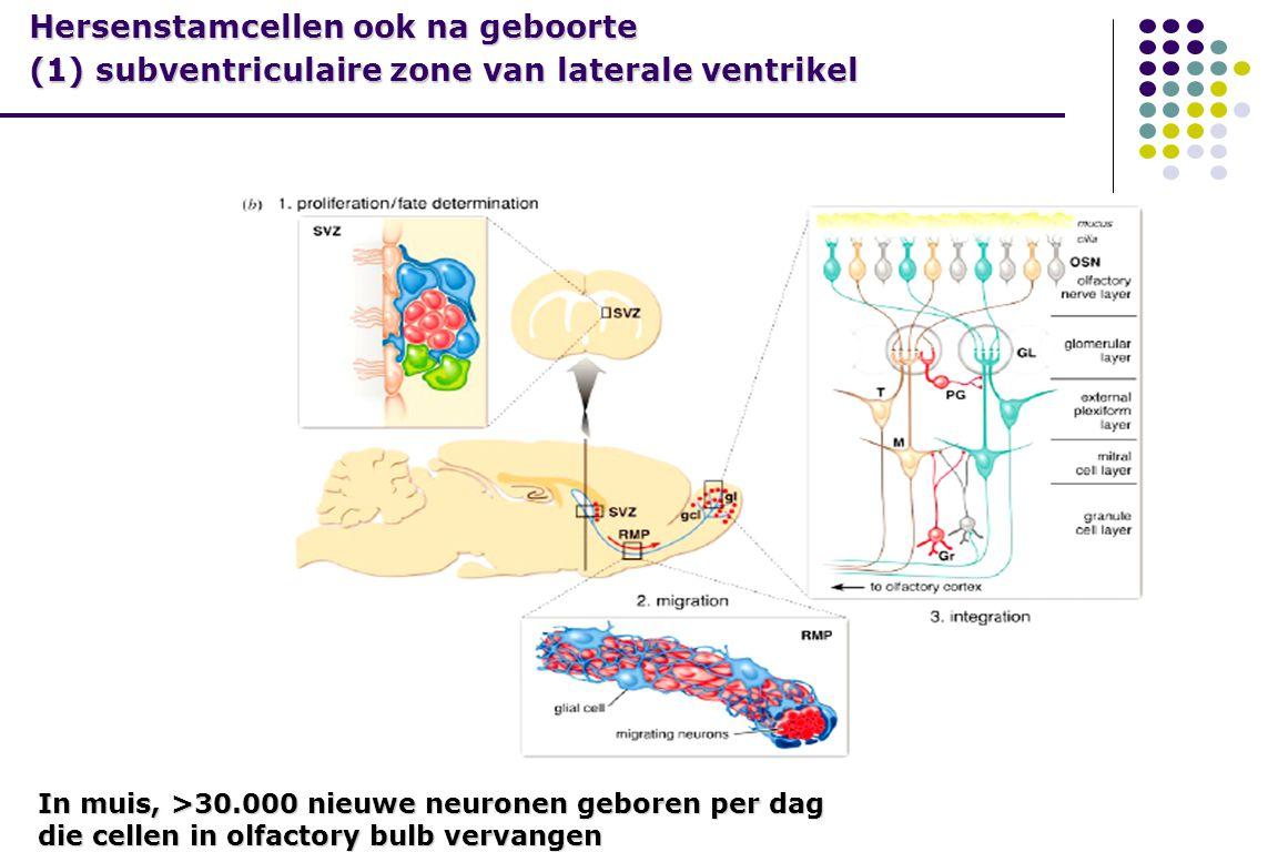 In muis, >30.000 nieuwe neuronen geboren per dag die cellen in olfactory bulb vervangen Hersenstamcellen ook na geboorte (1) subventriculaire zone van laterale ventrikel