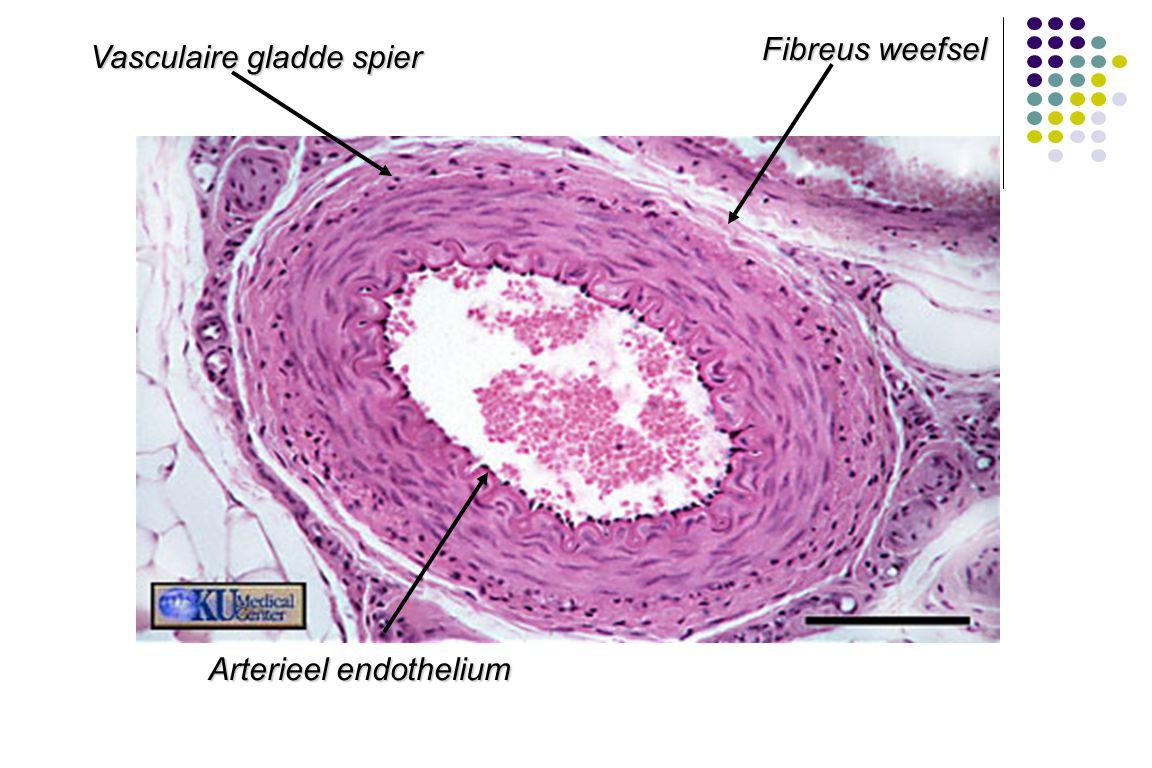 Arterieel endothelium Vasculaire gladde spier Fibreus weefsel