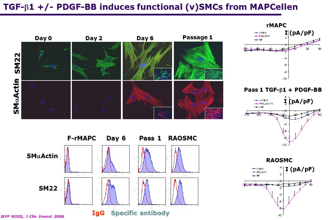 SMActin SM22 IgG Specific antibody Pass 1 Day 6 F-rMAPCRAOSMC Passage 1 SM22a Day 0 Day 2 Day 6 SM22 SMActin JEFF ROSS, J Clin Invest 2006 I (pA/pF)