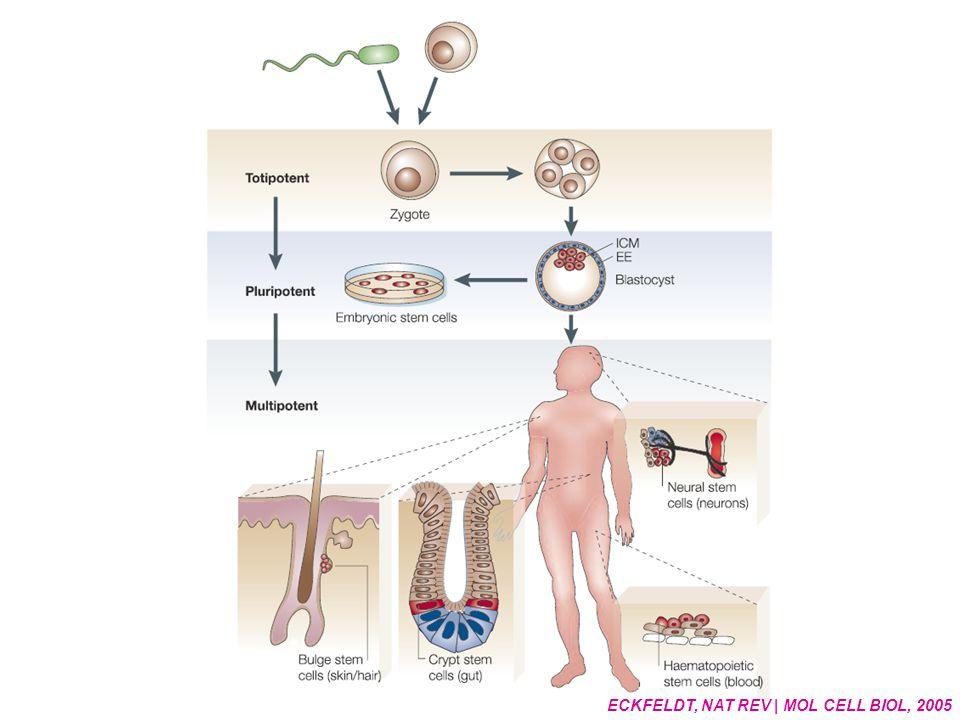Enthousiasme omwille van embryonale stamcellen Enthousiasme omwille van embryonale stamcellen Wordt niet oud en differentiëert in alle celtypesWordt niet oud en differentiëert in alle celtypes Dus: embryonale stamcellen kunnen alle ziektes helen?Dus: embryonale stamcellen kunnen alle ziektes helen.