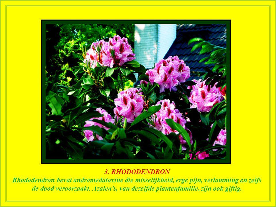 3. RHODODENDRON Deze populaire, altijd groene heester met grote en zeer mooie bloemen was al in de oudheid bekend voor zijn giftigheid. Xenophon verha