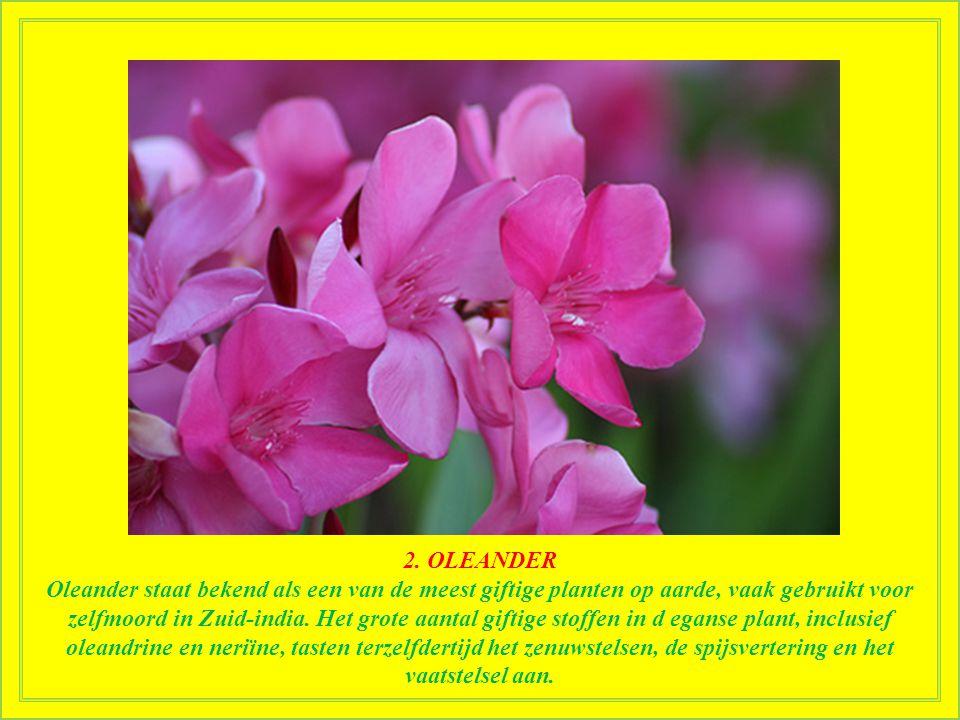 3. RHODODENDRON Rhododendron bevat andromedatoxine die misselijkheid, erge pijn, verlamming en zelfs de dood veroorzaakt. Azalea's, van dezelfde plant