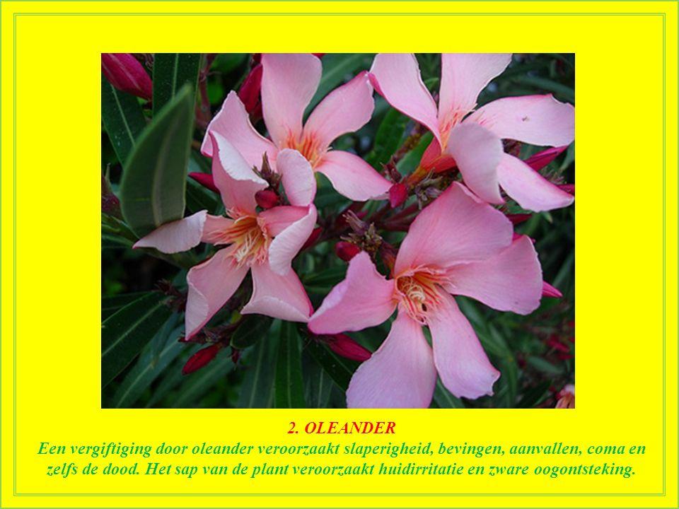 2. OLEANDER Oleander staat bekend als een van de meest giftige planten op aarde, vaak gebruikt voor zelfmoord in Zuid-india. Het grote aantal giftige
