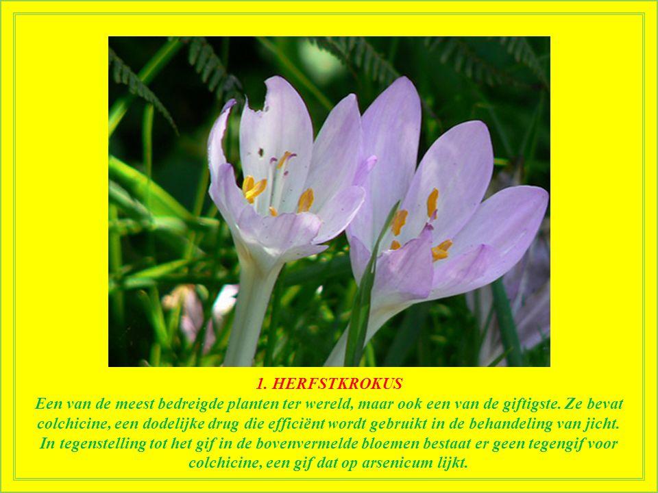 2. OLEANDER Een vergiftiging door oleander veroorzaakt slaperigheid, bevingen, aanvallen, coma en zelfs de dood. Het sap van de plant veroorzaakt huid