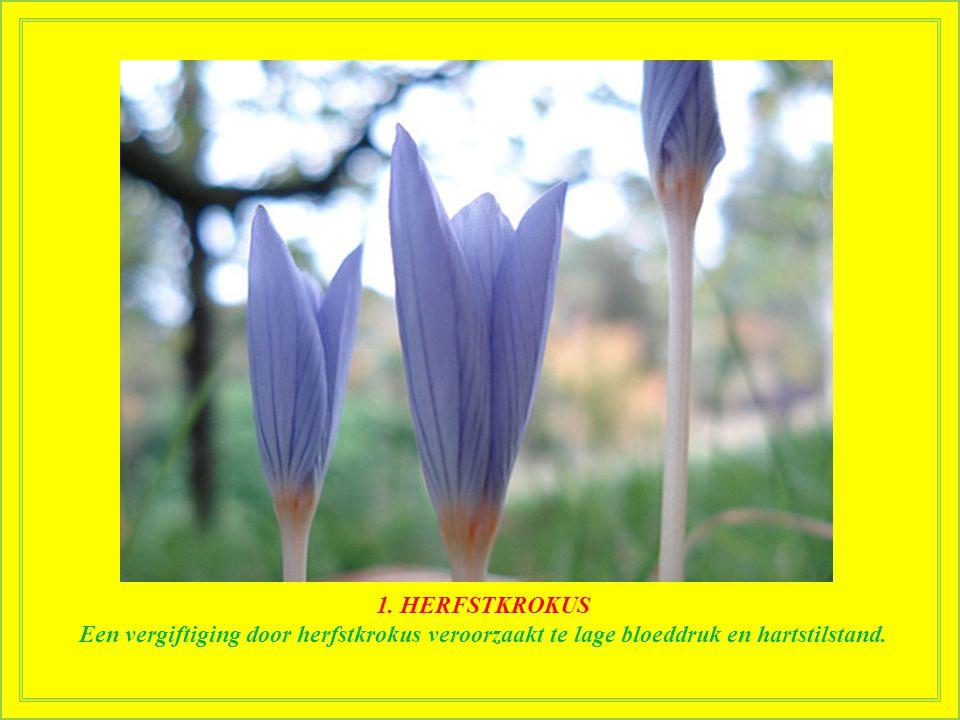 1. HERFSTKROKUS Een van de meest bedreigde planten ter wereld, maar ook een van de giftigste. Ze bevat colchicine, een dodelijke drug die efficiënt wo