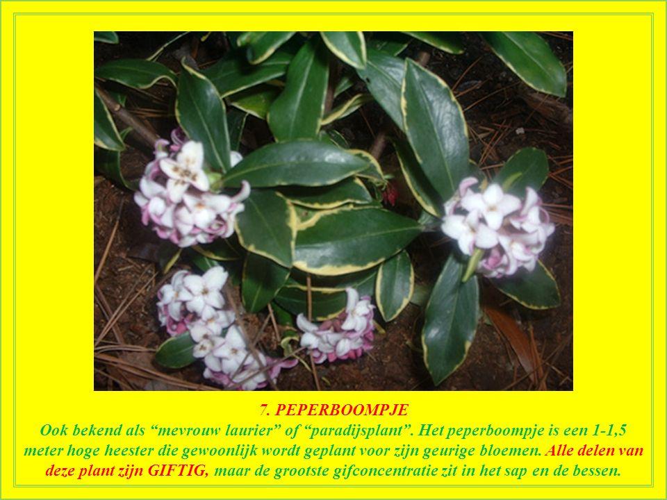 7.PEPERBOOMPJE Ook bekend als mevrouw laurier of paradijsplant .