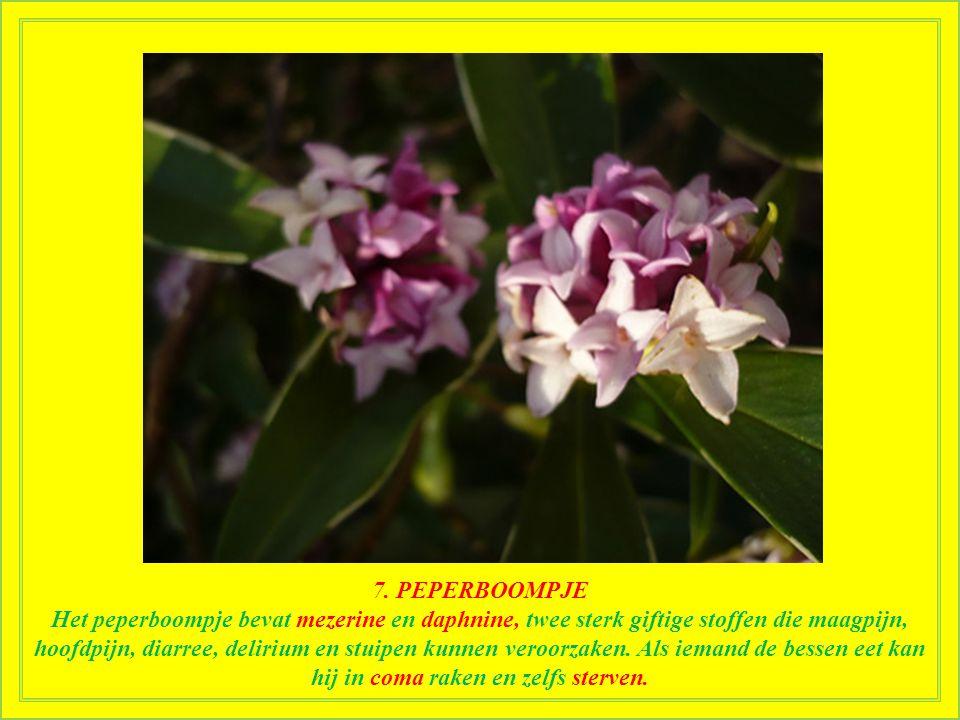 """7. PEPERBOOMPJE Ook bekend als """"mevrouw laurier"""" of """"paradijsplant"""". Het peperboompje is een 1-1,5 meter hoge heester die gewoonlijk wordt geplant voo"""