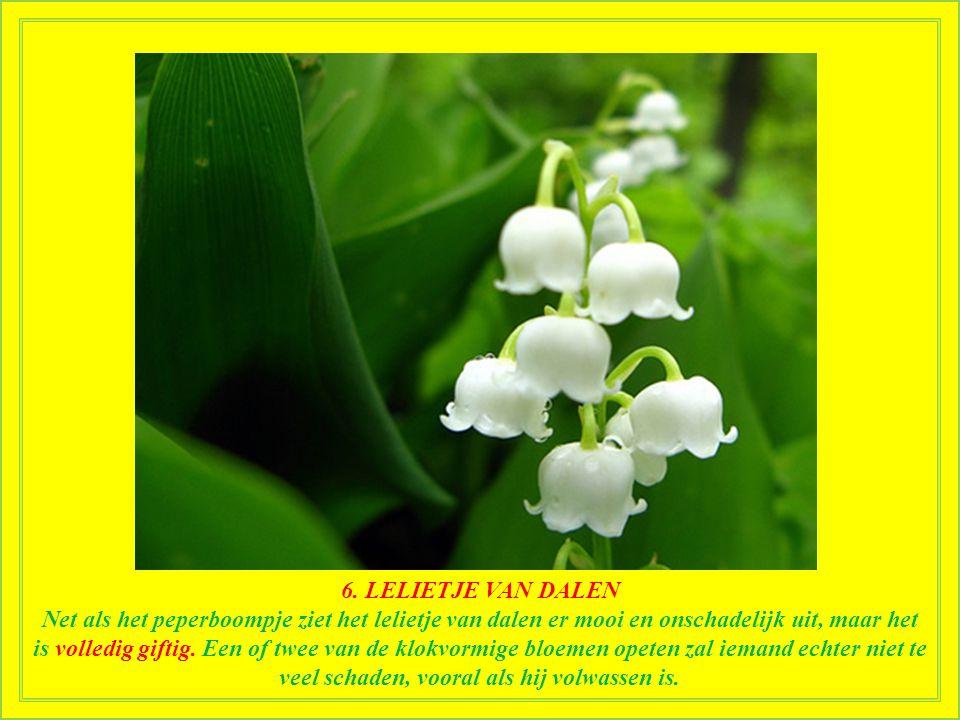 7. PEPERBOOMPJE Het peperboompje bevat mezerine en daphnine, twee sterk giftige stoffen die maagpijn, hoofdpijn, diarree, delirium en stuipen kunnen v
