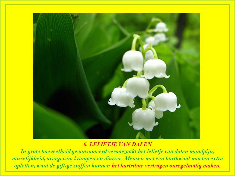 6. LELIETJE VAN DALEN Net als het peperboompje ziet het lelietje van dalen er mooi en onschadelijk uit, maar het is volledig giftig. Een of twee van d