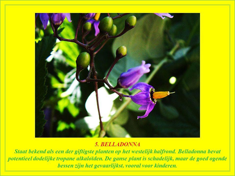 5.BELLADONNA Staat bekend als een der giftigste planten op het westelijk halfrond.
