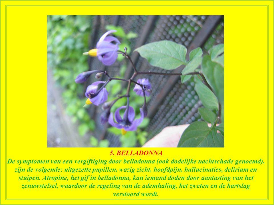 5. BELLADONNA Staat bekend als een der giftigste planten op het westelijk halfrond. Belladonna bevat potentieel dodelijke tropane alkaloïden. De ganse