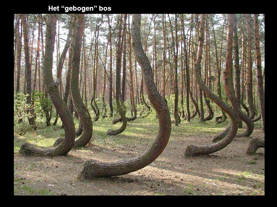 Het gebogen bos