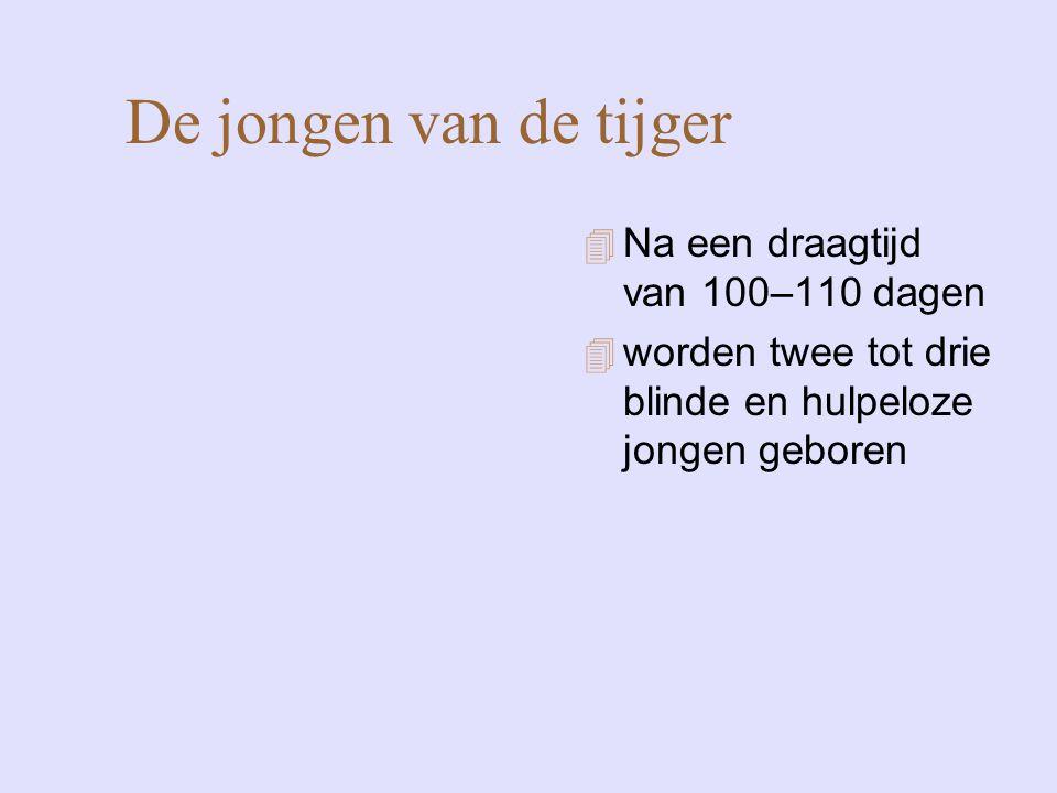De jongen van de tijger 4 Na een draagtijd van 100–110 dagen 4 worden twee tot drie blinde en hulpeloze jongen geboren