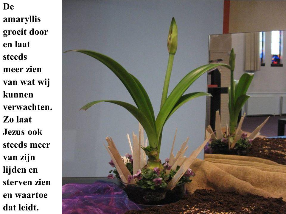 De amaryllis groeit door en laat steeds meer zien van wat wij kunnen verwachten. Zo laat Jezus ook steeds meer van zijn lijden en sterven zien en waar