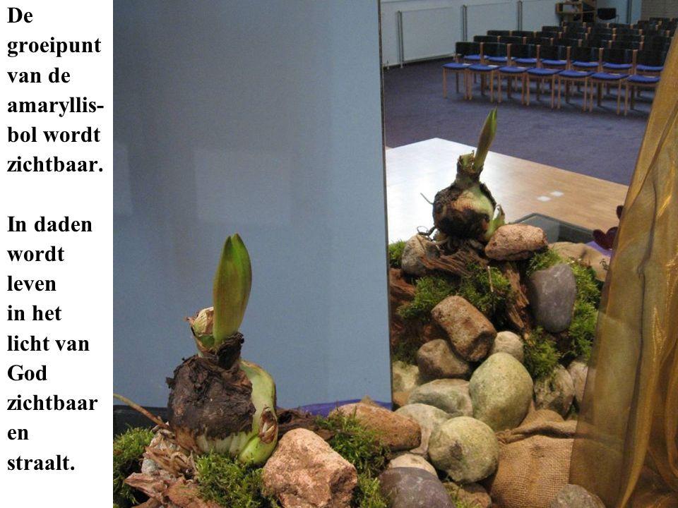 De groeipunt van de amaryllis- bol wordt zichtbaar. In daden wordt leven in het licht van God zichtbaar en straalt.