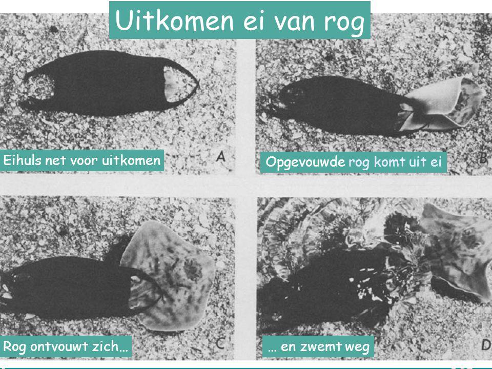 V L I Z www.vliz.be/educatie Zeelessen Eihuls net voor uitkomen Opgevouwde rog komt uit ei Rog ontvouwt zich…… en zwemt weg Uitkomen ei van rog