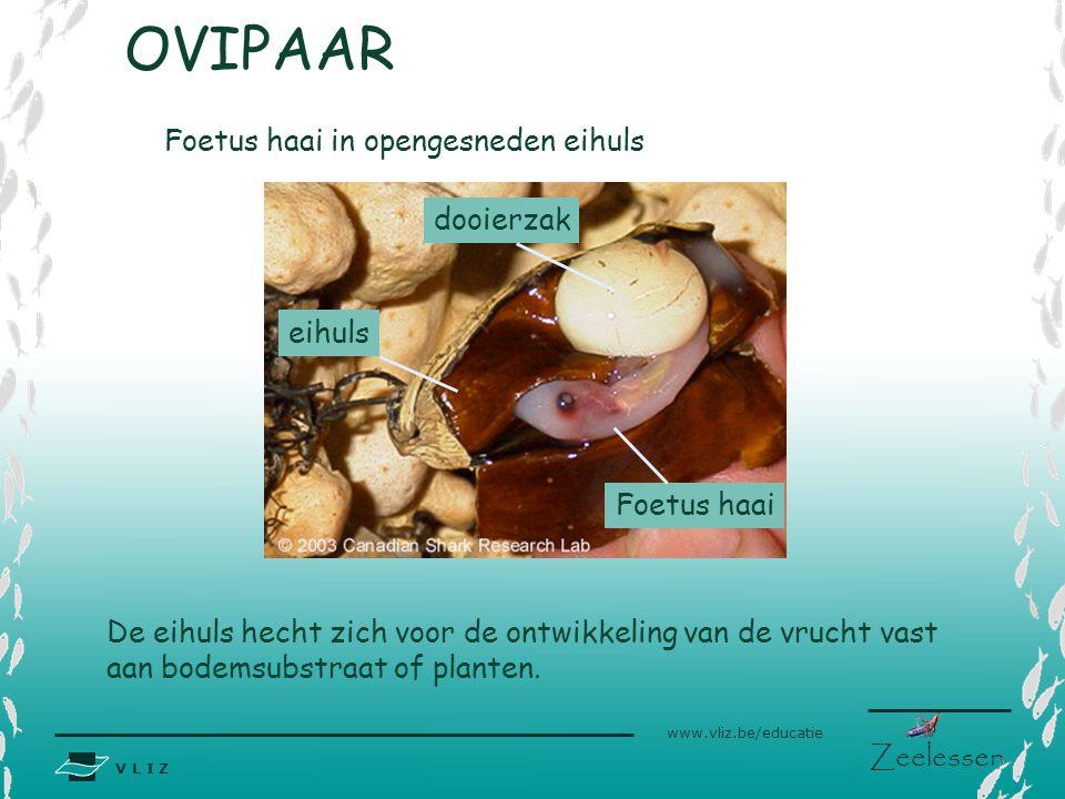 V L I Z www.vliz.be/educatie Zeelessen Foetus haai dooierzak eihuls De eihuls hecht zich voor de ontwikkeling van de vrucht vast aan bodemsubstraat of