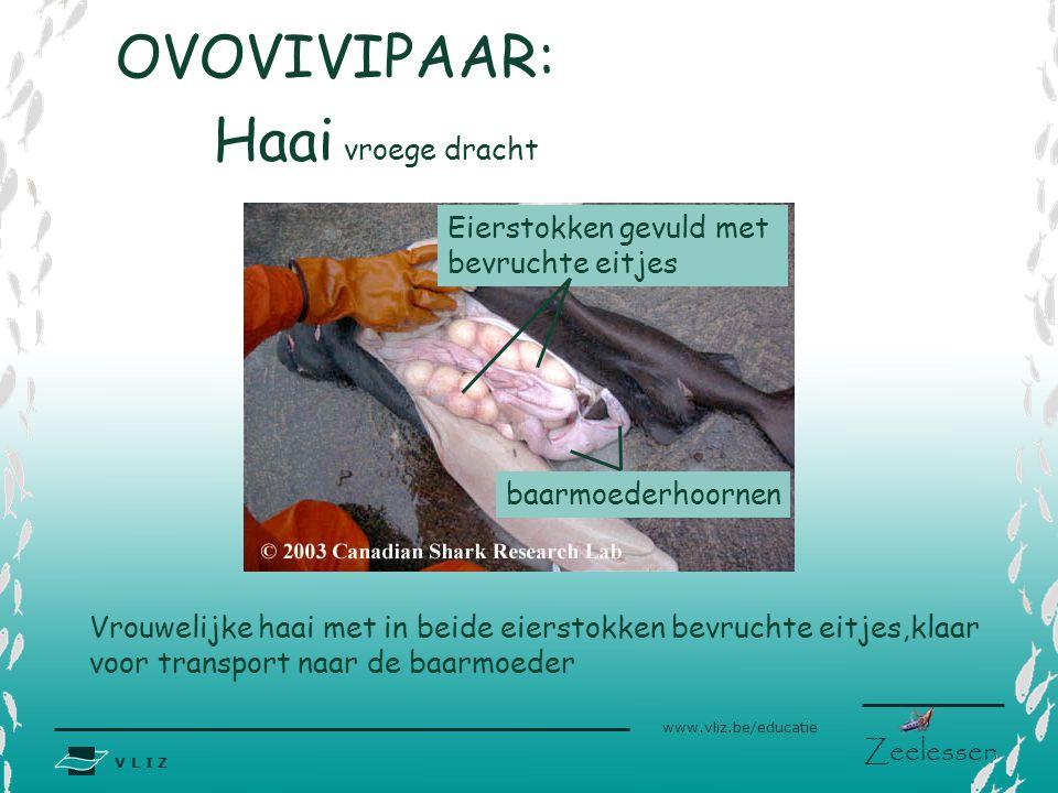 V L I Z www.vliz.be/educatie Zeelessen OVOVIVIPAAR: Vrouwelijke haai met in beide eierstokken bevruchte eitjes,klaar voor transport naar de baarmoeder