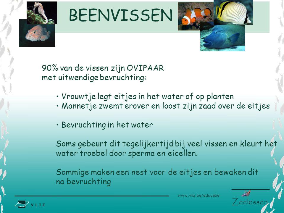 V L I Z www.vliz.be/educatie Zeelessen 90% van de vissen zijn OVIPAAR met uitwendige bevruchting: Vrouwtje legt eitjes in het water of op planten Mann