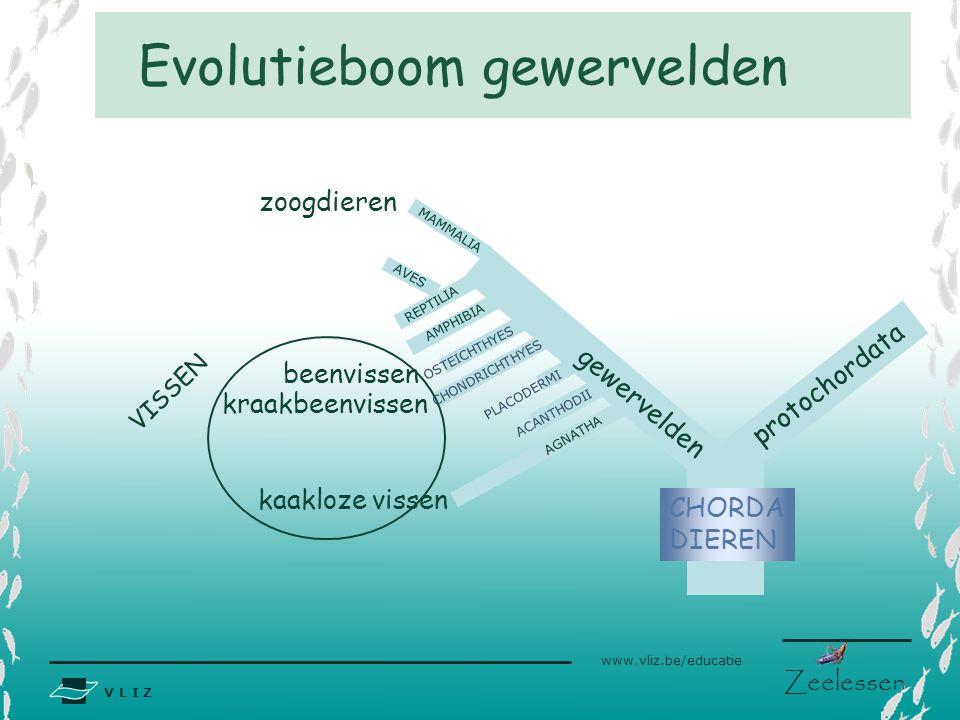 V L I Z www.vliz.be/educatie Zeelessen Evolutieboom gewervelden zoogdieren kraakbeenvissen beenvissen gewervelden CHORDA DIEREN kaakloze vissen protoc