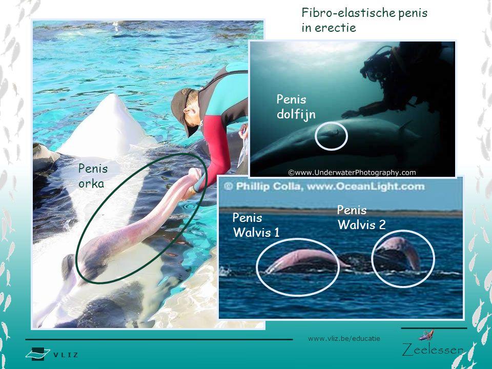 V L I Z www.vliz.be/educatie Zeelessen Penis dolfijn Penis Walvis 1 Penis orka Fibro-elastische penis in erectie Penis Walvis 2