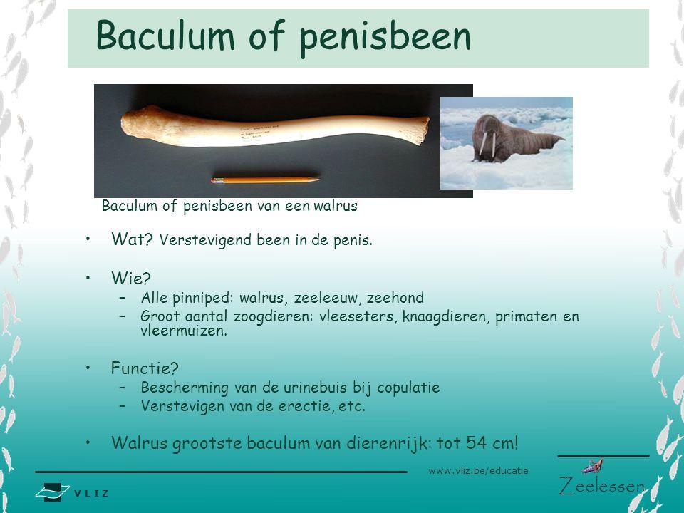 V L I Z www.vliz.be/educatie Zeelessen Baculum of penisbeen Wat? Verstevigend been in de penis. Wie? –Alle pinniped: walrus, zeeleeuw, zeehond –Groot