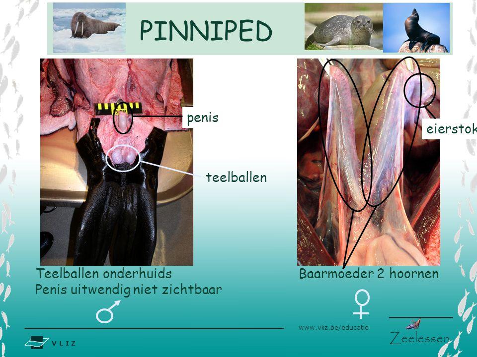 V L I Z www.vliz.be/educatie Zeelessen PINNIPED Baarmoeder 2 hoornen eierstok Teelballen onderhuids Penis uitwendig niet zichtbaar penis teelballen