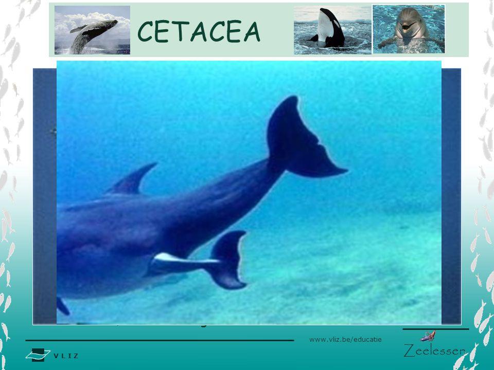 V L I Z www.vliz.be/educatie Zeelessen Interne bevruchting Drachtduur 10- 18 maanden afhankelijk van de soort. Paren gemiddeld om de 3 jaar en zijn dr