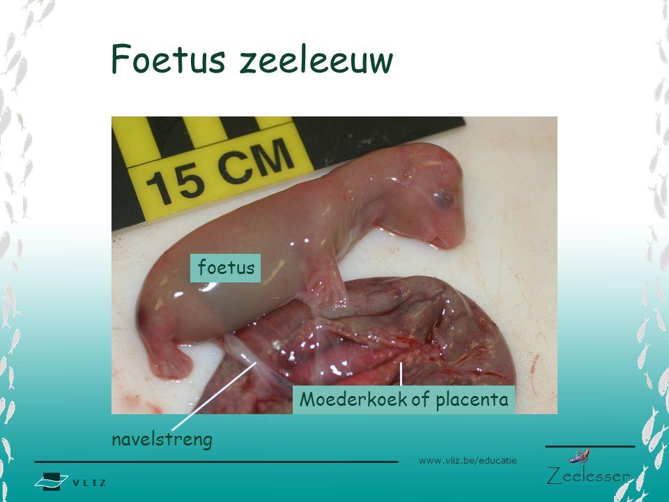 V L I Z www.vliz.be/educatie Zeelessen Foetus zeeleeuw navelstreng Moederkoek of placenta foetus