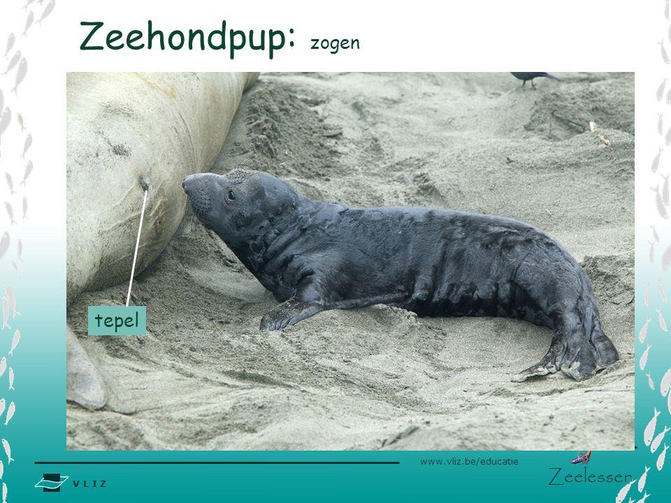 V L I Z www.vliz.be/educatie Zeelessen Zeehondpup: zogen tepel