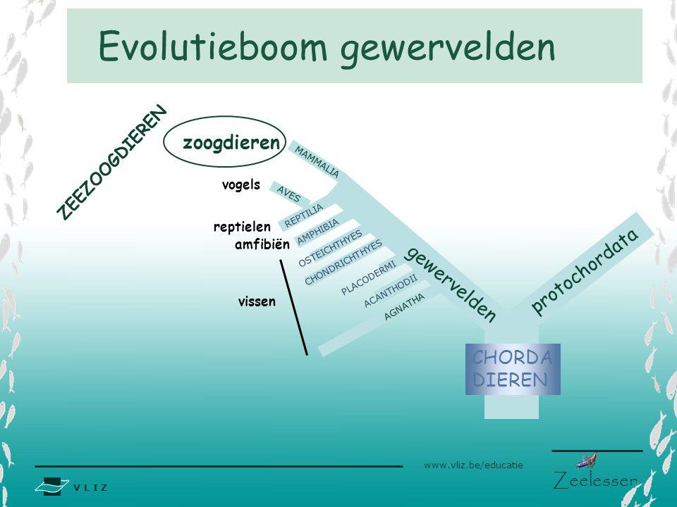 V L I Z www.vliz.be/educatie Zeelessen Evolutieboom gewervelden zoogdieren gewervelden CHORDA DIEREN protochordata AGNATHA ACANTHODII PLACODERMI CHOND