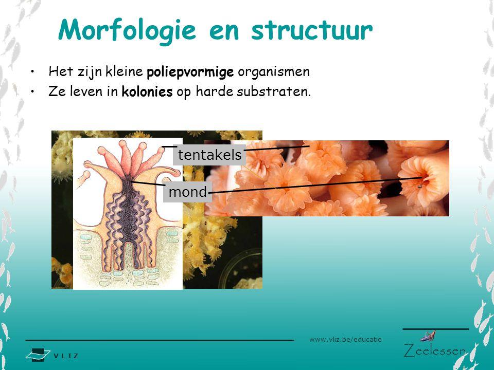 V L I Z www.vliz.be/educatie Zeelessen mond tentakels Het zijn kleine poliepvormige organismen Ze leven in kolonies op harde substraten. Morfologie en