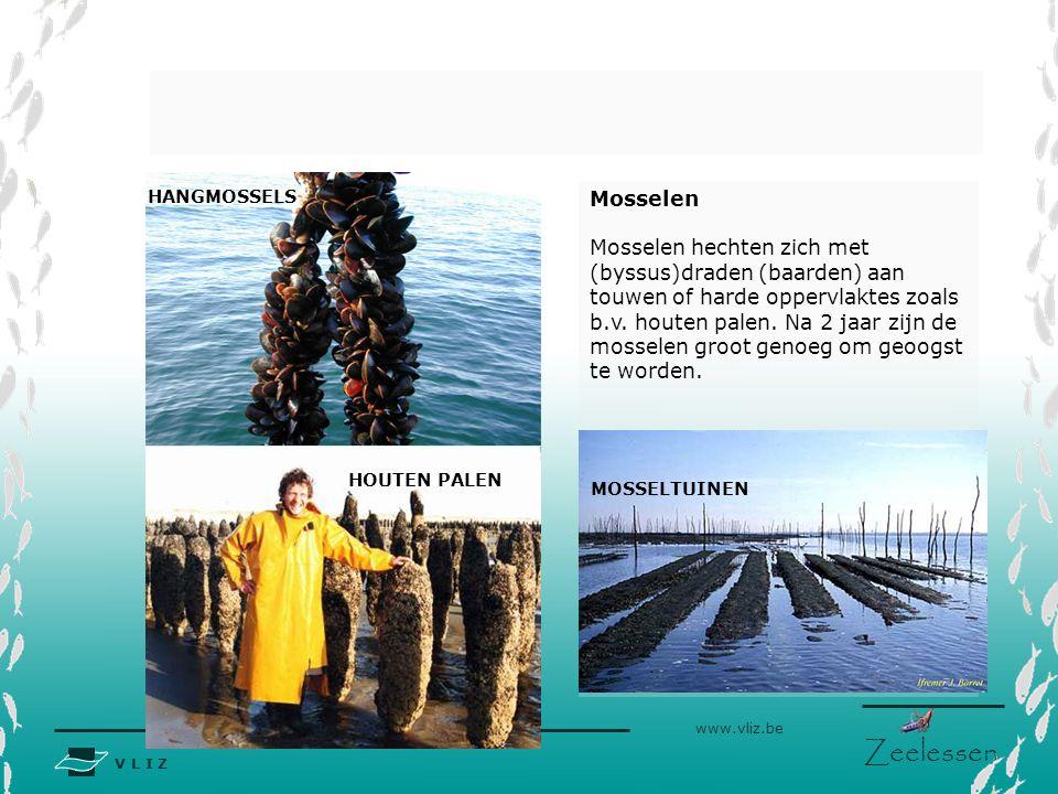 V L I Z www.vliz.be Zeelessen Mosselen Mosselen hechten zich met (byssus)draden (baarden) aan touwen of harde oppervlaktes zoals b.v.