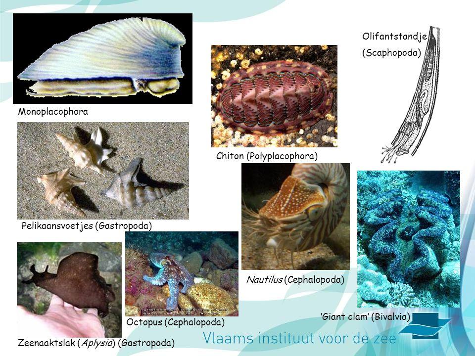 Pelikaansvoetjes (Gastropoda) Olifantstandje (Scaphopoda) Chiton (Polyplacophora) Monoplacophora Zeenaaktslak (Aplysia) (Gastropoda) 'Giant clam' (Biv