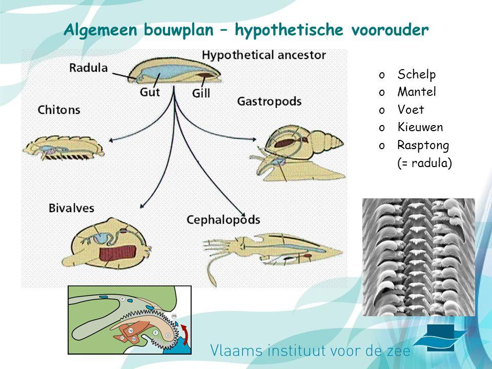 Algemeen bouwplan – hypothetische voorouder oSchelp oMantel oVoet oKieuwen oRasptong (= radula)