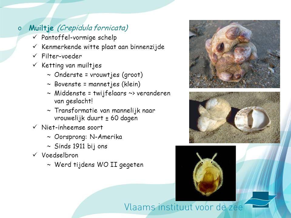 oMuiltje (Crepidula fornicata) Pantoffel-vormige schelp Kenmerkende witte plaat aan binnenzijde Filter-voeder Ketting van muiltjes ~Onderste = vrouwtjes (groot) ~Bovenste = mannetjes (klein) ~Middenste = twijfelaars ~> veranderen van geslacht.