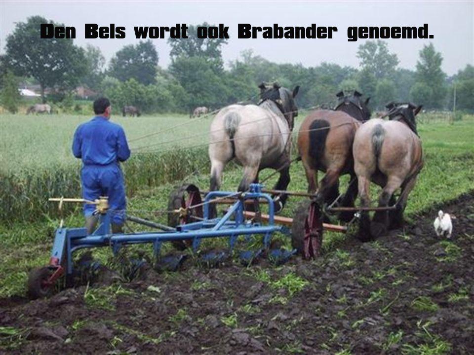 Het majestueus Belgisch trekpaard.