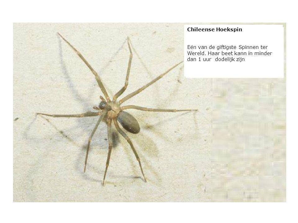 verteilt durch www.funmail2u.dewww.funmail2u.de Chileense Hoekspin Eén van de giftigste Spinnen ter Wereld. Haar beet kann in minder dan 1 uur dodelij