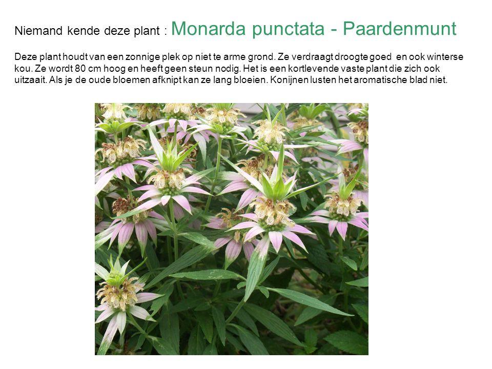 Niemand kende deze plant : Monarda punctata - Paardenmunt Deze plant houdt van een zonnige plek op niet te arme grond.