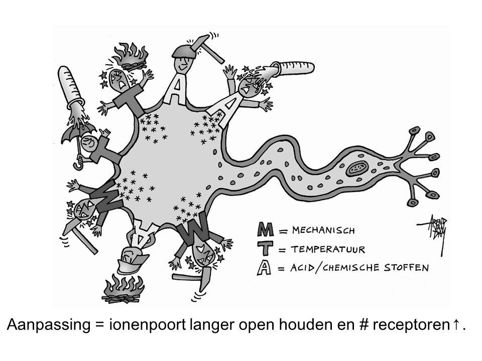 Aanpassing = ionenpoort langer open houden en # receptoren↑.