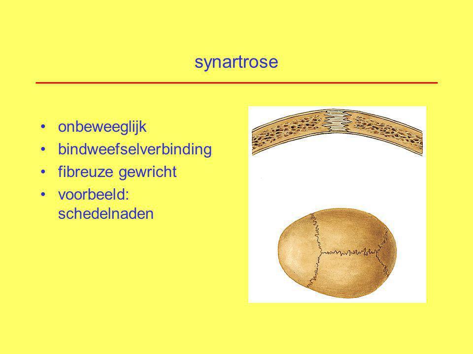 fysiologie synoviaal gewricht gewrichtskapsel en synoviaal vocht functie: stabilisatie, op de plaast houden van botten voorkomen abnormale bewegingen binnenbekleding : synoviaal membraan: aanmaak synoviaal vocht (knie: 2 ml aanwezig) voeding gewrichtskraakbeen synoviocyten type A: 'macrofagen' (afweer, afval) synoviocyten type B: 'fibroblasten' (smeermiddel) !