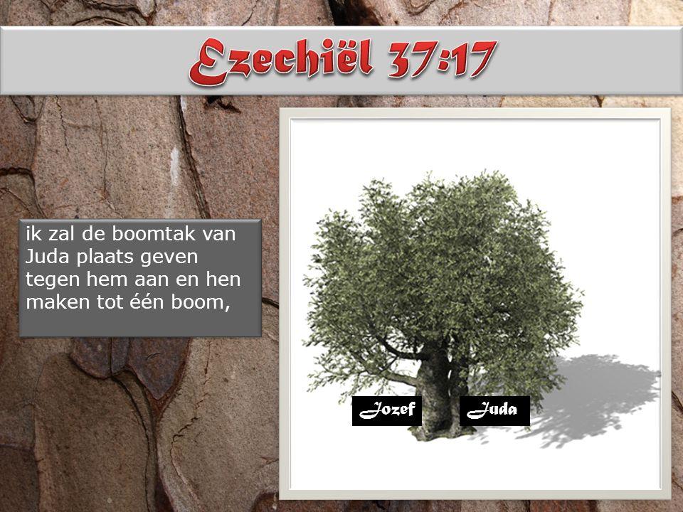 ik zal de boomtak van Juda plaats geven tegen hem aan en hen maken tot één boom, JozefJuda