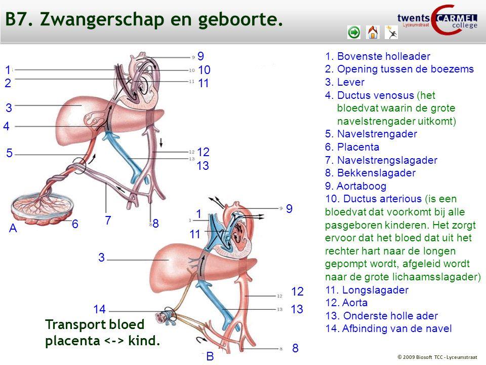 © 2009 Biosoft TCC - Lyceumstraat 1. Bovenste holleader 2. Opening tussen de boezems 3. Lever 4. Ductus venosus (het bloedvat waarin de grote navelstr